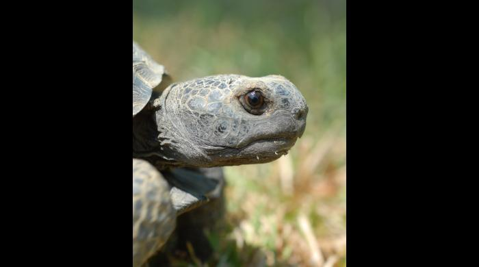 Gopher Tortoise (photo by Tom Price)