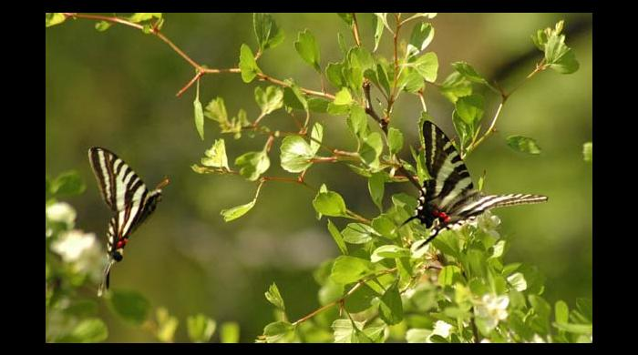 Butterflies at Pike County Pocosin