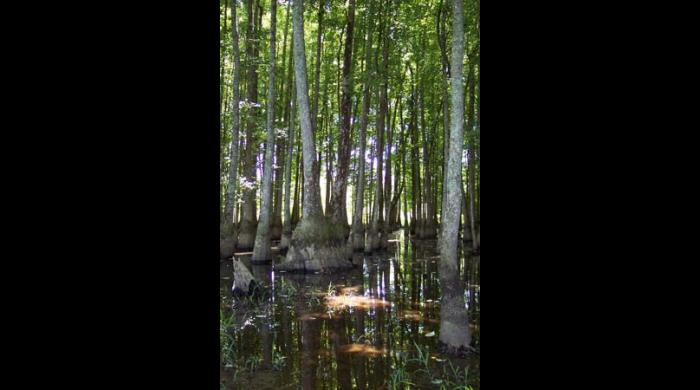 Sipsey River Swamp