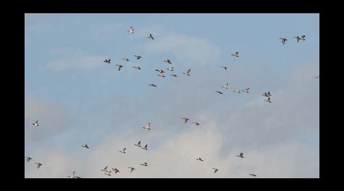 A flock of ducks, mainly gadwalls and a few mallards, flies over the property.