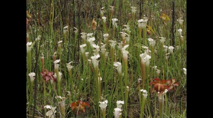 Pitcher plants at Splinter Hill Bog (photo by Ashley Peters)